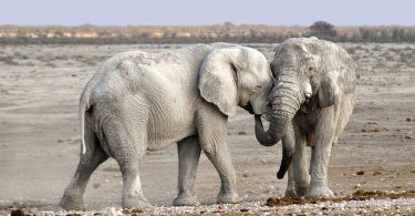cbd-treatment-for-the-first-time-in-an-elephant-cow