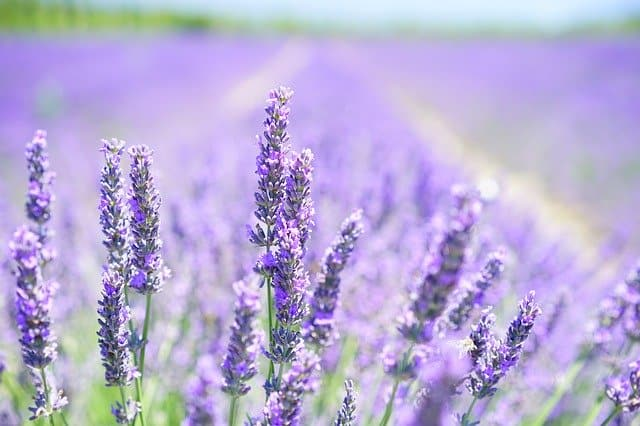 cbd-skincare-and-cosmetics-additives-lavender